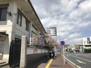 千葉神社前 桜が咲いてます
